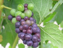 Pinot Noir Grapes by Kerry MacPhail